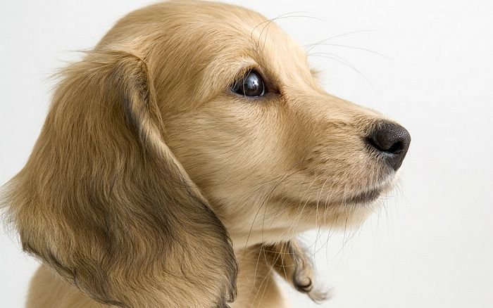 puppies and dogs wallpapers. Close-up of a puppy dog,