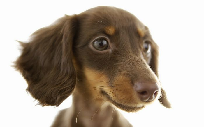 Puppies And Dogs Pictures. Close-up of a puppy dog,