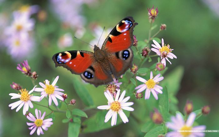 Butterfly Garden - Butterfly on Flowers 1440x900 - Colorful Butterfly photo