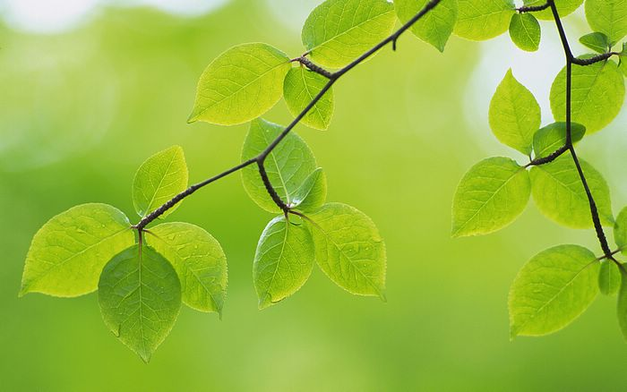 2560x1600 Fresh Green leaves Wallpapers - 2560x1600 Green Leaves photo - Spring Leaves Photos6