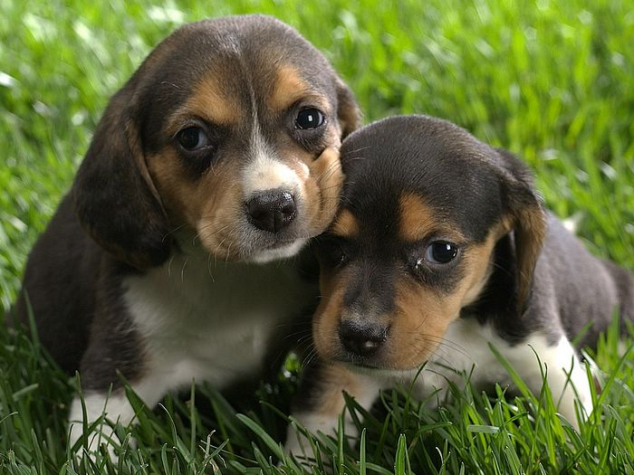 Beagle Dogs Puppies