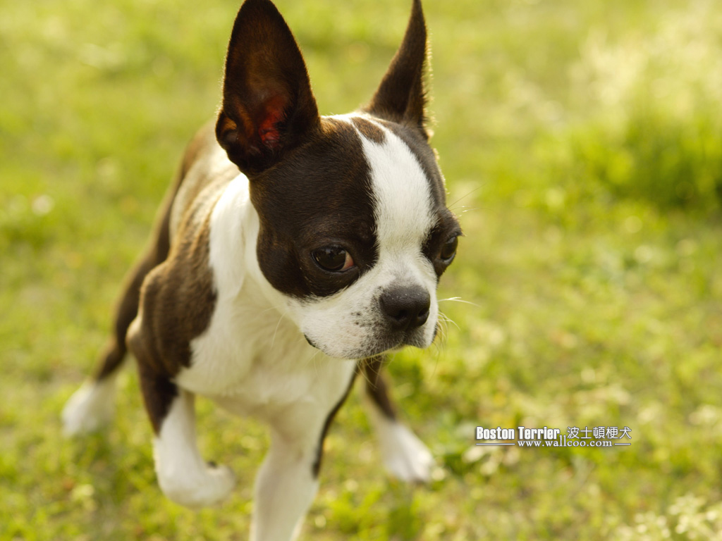 Boston Terrier Dog photos - Boston Terrier Wallpapers 1024*768 NO.3