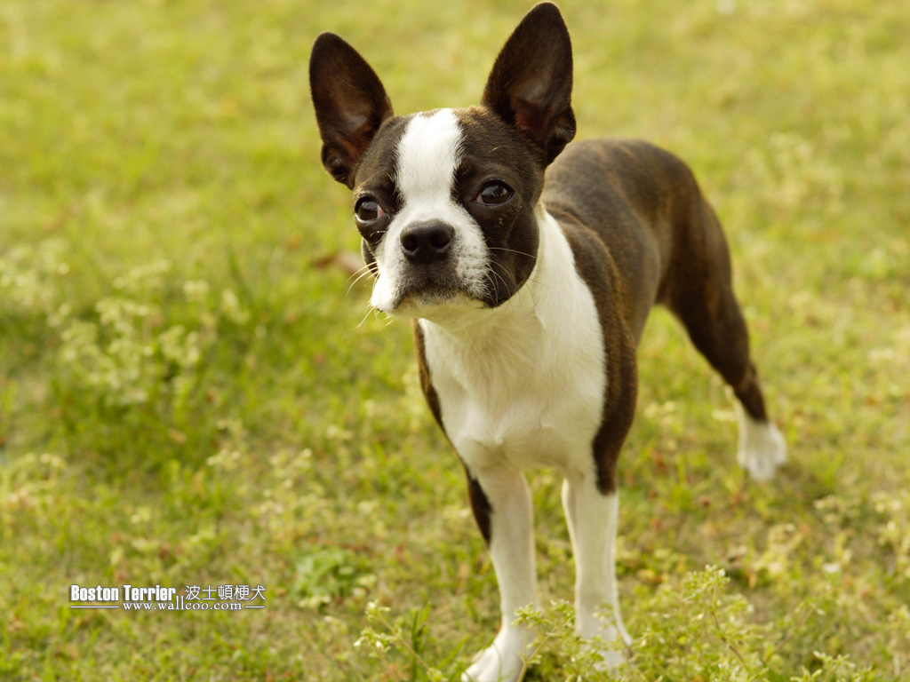 Boston Terrier Dog photos - Boston Terrier Wallpapers 1024*768 NO.4