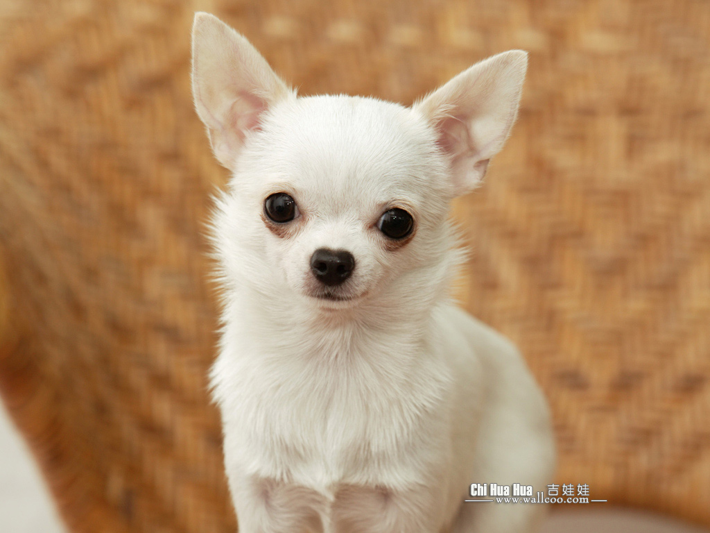 chihuahua puppy wallpaper chihuahua pictures 1024x768 no
