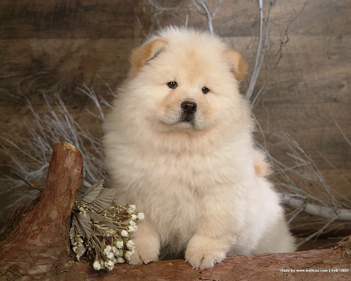 Dogs - Fluffy Chow Chow Puppies Photographs :Fluffy Chow Chow Puppy ...