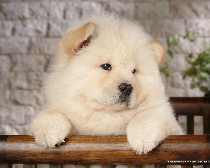dogs pictures wallpaper. My Dogs - Fluffy Chow Chow