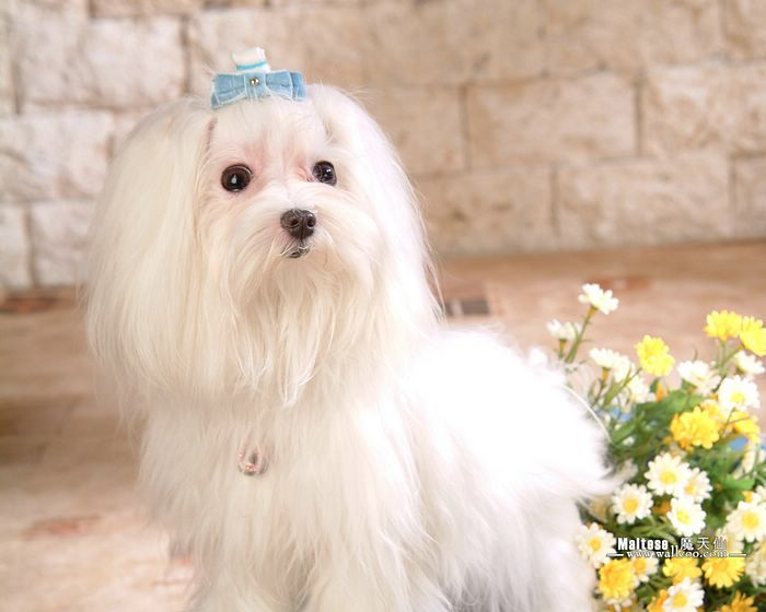 http://www.wallcoo.net/animal/Dog_Maltese/images/%5Bwallcoo_com%5D_Maltese_pictures_82334.jpg