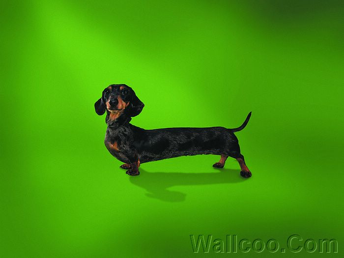 Dachshund Like To Be A Model Funny Dog Pictures 19201600