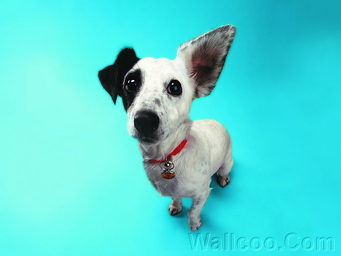 Jack Russell Hears a Who? Funny Dog Wallpaper (1920 1600 ) 19 ...