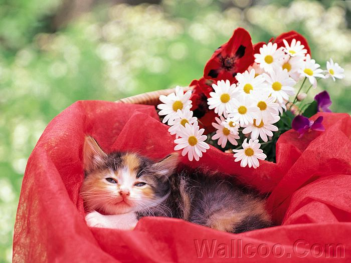 cute kitten wallpaper. kittens wallpapers, Cute