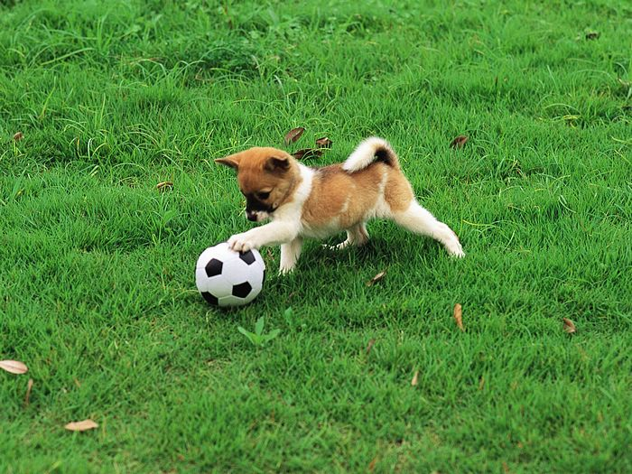 Playful Puppy's Outdoor Fun  - Cute puppy playing football  Wallpaper4