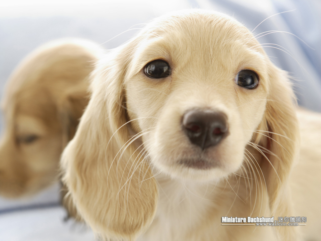 Cuddly Puppies - Miniature Dachshund Puppy wallpapers 1024*768 NO.1 ...