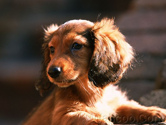 miniature long haired dachshund puppy. Cuddly Puppies - HD Dachshund