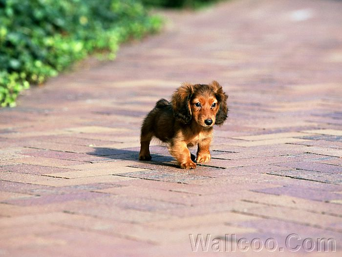 A Long Haired Miniature Dachshund Puppy Picture 32 Wallcoo