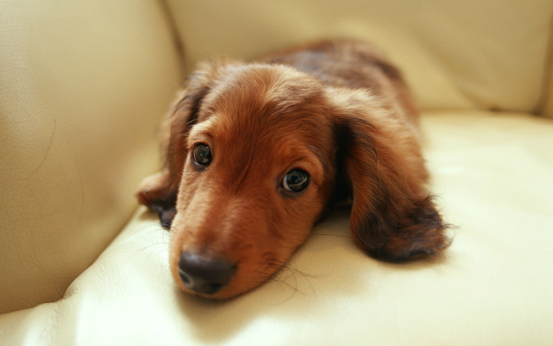 Miniature Dachshund Puppies Wallpapers - Puppy Dachshund 1920*1200 NO ...