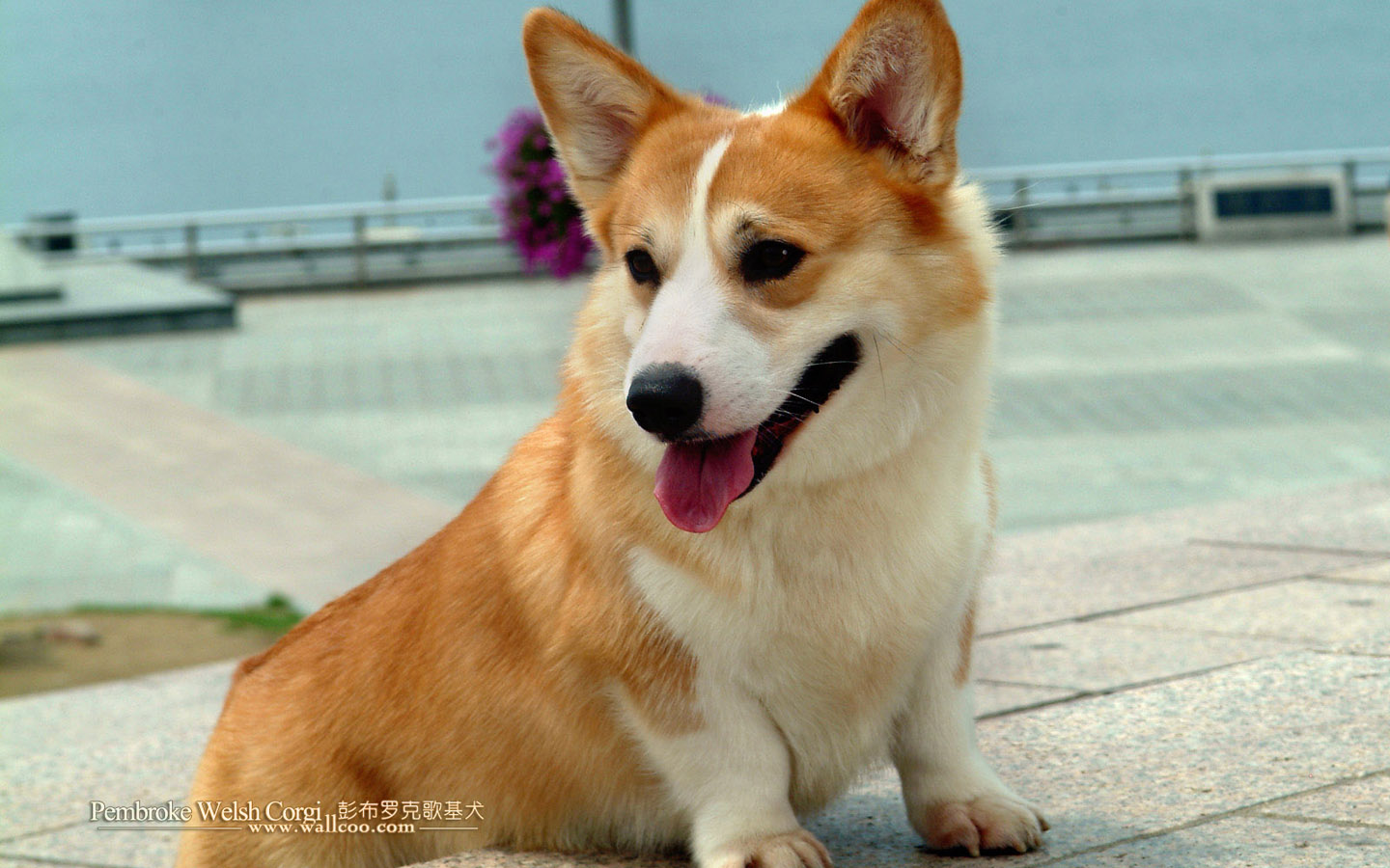 Pembroke Welsh Corgi dogs and Pembroke Welsh Corgi puppies 1440*900 NO ...