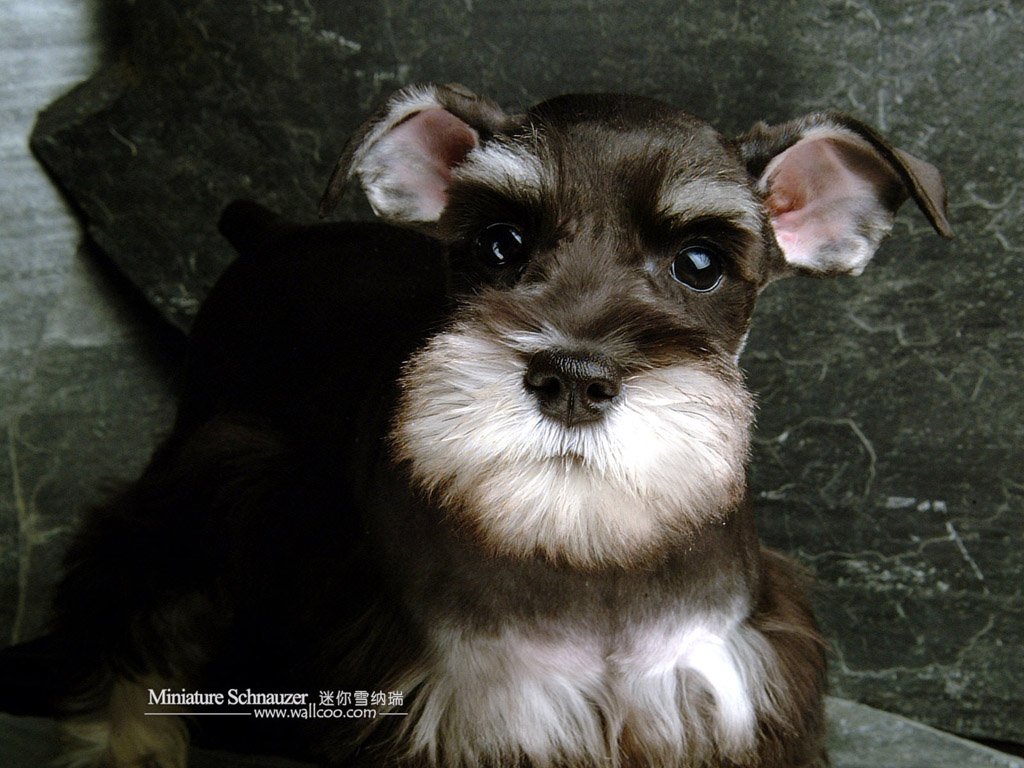 Miniature Schnauzer Dog : Miniature Schnauzer Puppies Photos 1024*768 ...