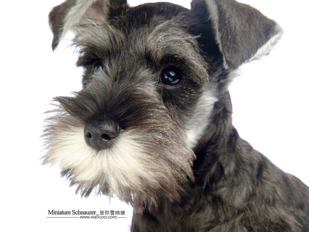 Miniature Schnauzer Dog : Miniature Schnauzer Puppies Photos 1024*768