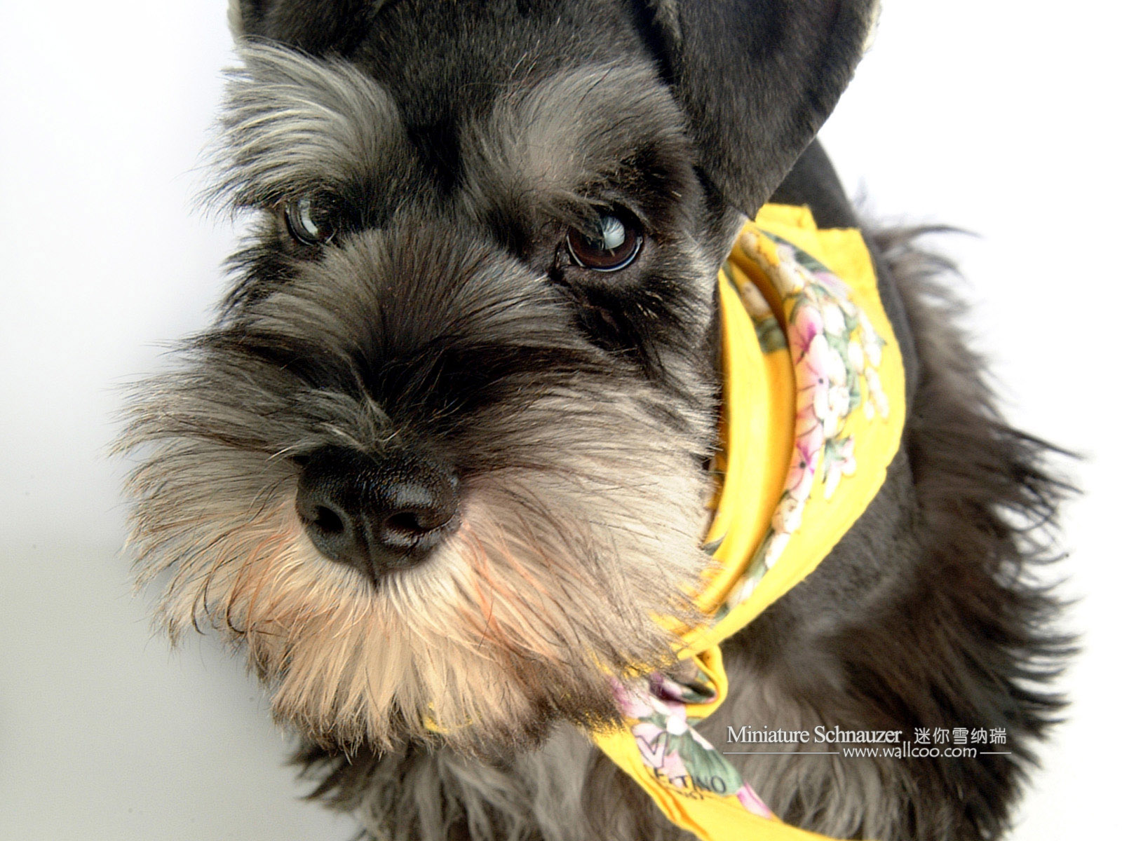 1600*1200 Miniature Schnauzer Puppies Photos - Mini Schnauzer ...