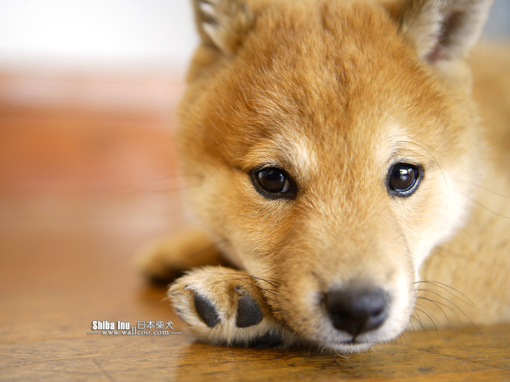 baby and shiba inu wallpaper - photo #2
