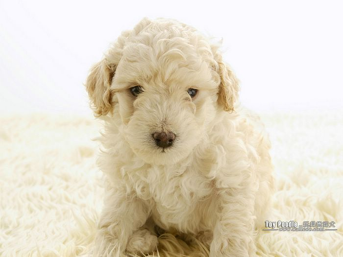 cuddly puppies   toy poodle