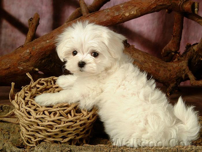 . 1920 1200 Lovely Furry Maltese Puppy Pictures 36   Wallcoo net