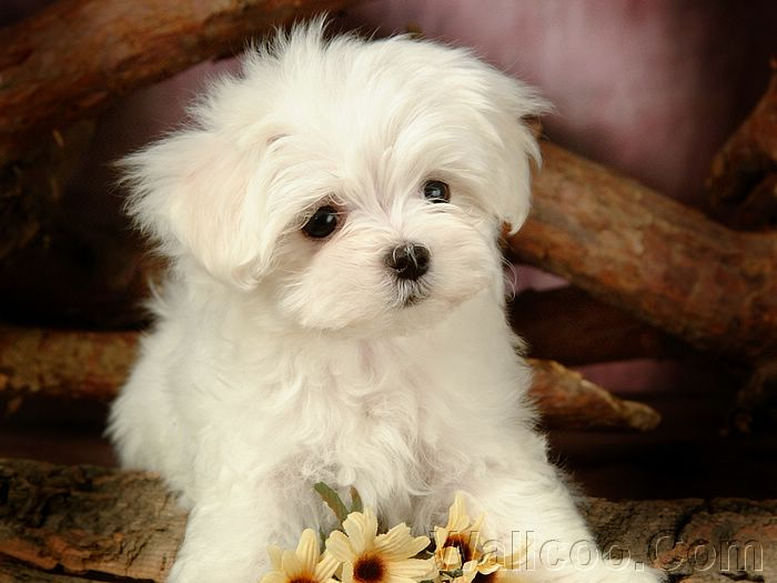 ... Fluffy Maltese Puppies (Vol.2) :1920*1200 Furry Maltese Puppy Photo