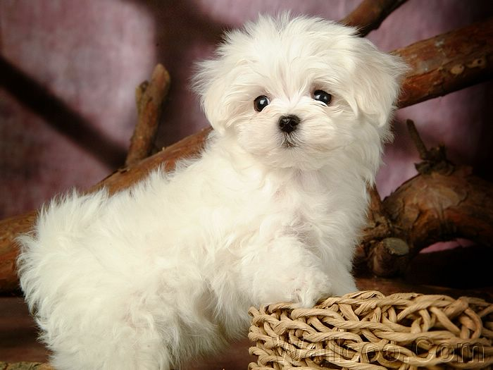 Maltese Dog Puppies Wallpaper