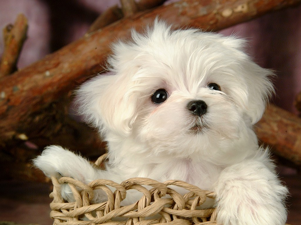 ... Puppy Dogs - White Maltese Puppies wallpapers 1024*768 NO.2 Wallpaper
