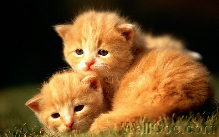 Sweet Kitty Adorable Fluffy Baby Kittens Wallpapers