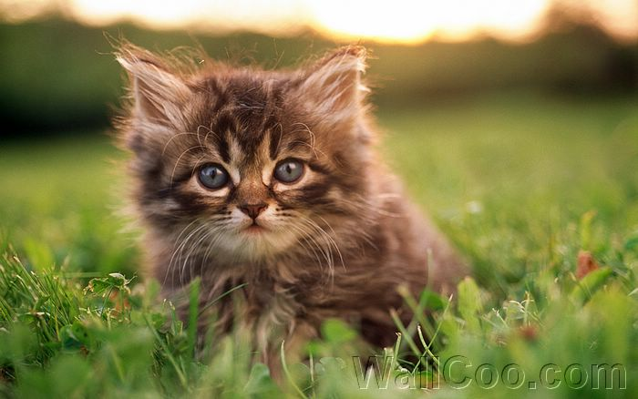 ... Baby Kittens Wallpapers 14:Wallcoo_com_baby_fluffy_kitten_baby_Cat_442