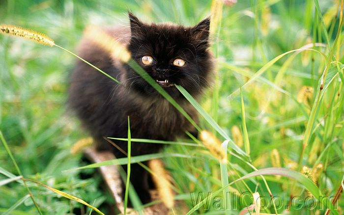 Little Black Persian Kitten And Dogtail Grass Wallpaper 18 Wallcoo Net