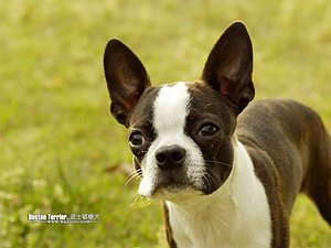 Boston Terrier puppy fast