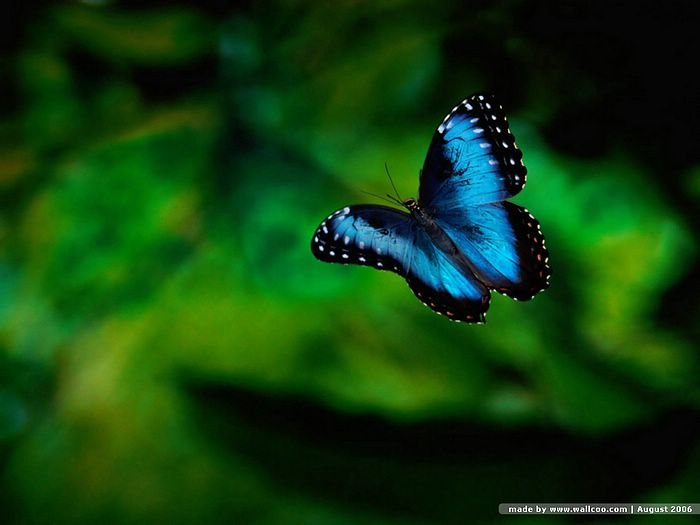 butterfly wallpaper. Butterfly Wallpapers