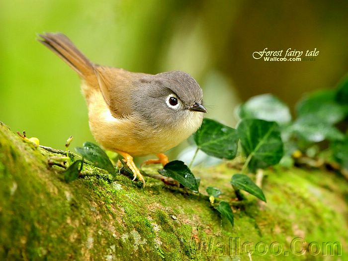 Gorgeous_birds_Gray-cheeked%20Fulvetta%20In%20the%20forest.jpg
