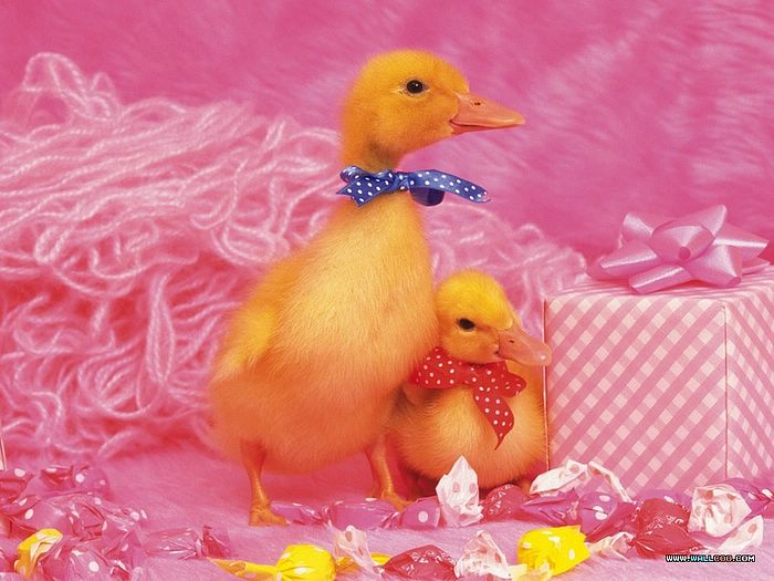 ... Baby Chicks and Ducks - photo: Two Baby Ducks, Fuzzy Baby Ducks studio