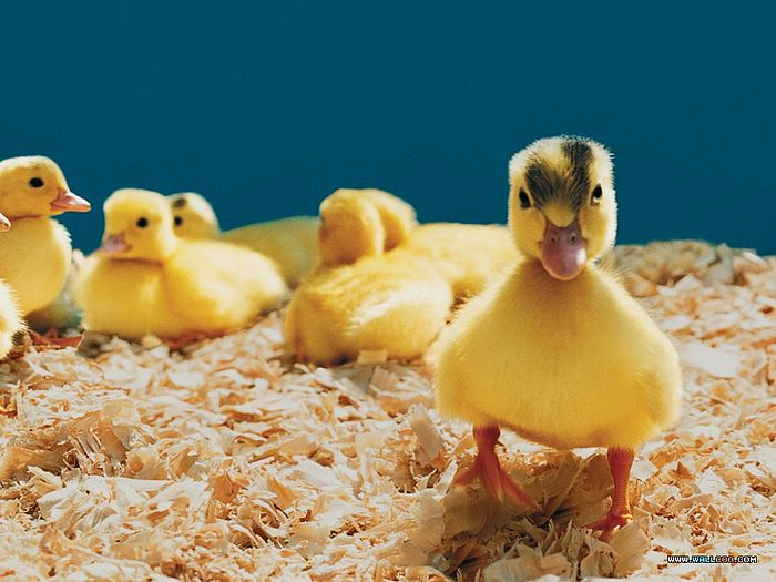 ... Baby Chicks and Ducks :photo: Yellow Fuzzy Ducklings, loveable Baby