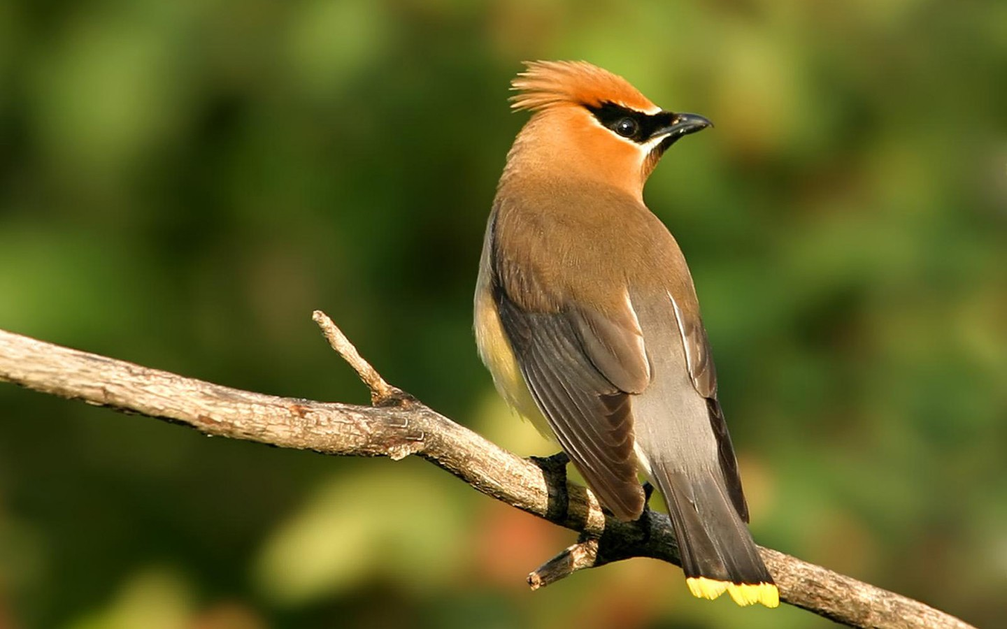 http://www.wallcoo.net/animal/fancy_birds/wallpapers/1440x900/Cedar%20waxwing3.jpg