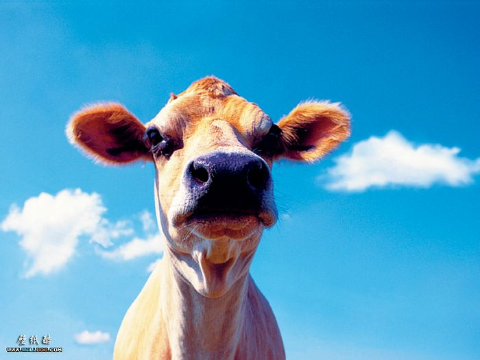Goofy fram animal fisheyed cow pictures 4 - Funny pictures farm animals ...