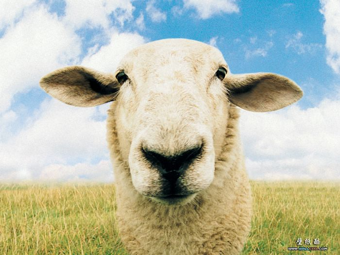 Goofy sheep pictures fisheyed sheep portrait 2 - Funny pictures farm animals ...