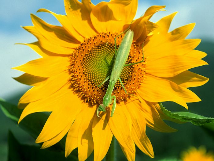 sunflower wallpaper 1024. Flowers and insects - Mantises Wallpapers - 1600*1200 Mantis on A Sunflower