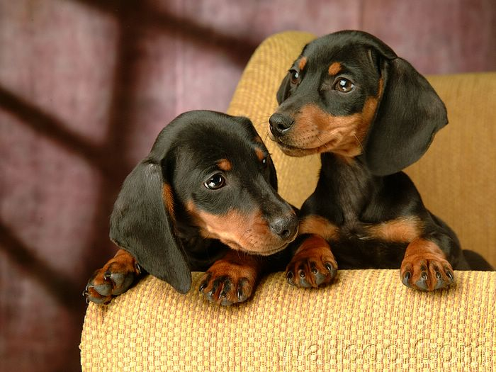 dog wallpapers, Short-haired dachshund puppy photos, sausage dog photo