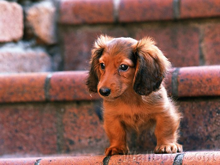 long haired dachshund photos. Longhaired Dachshund dog
