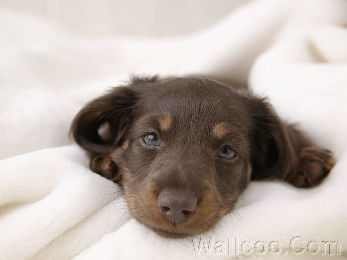 puppy wallpapers. Dachshund Puppy Wallpaper
