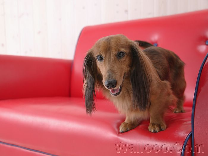 cream long haired dachshund puppies. Longhaired Dachshund Puppy