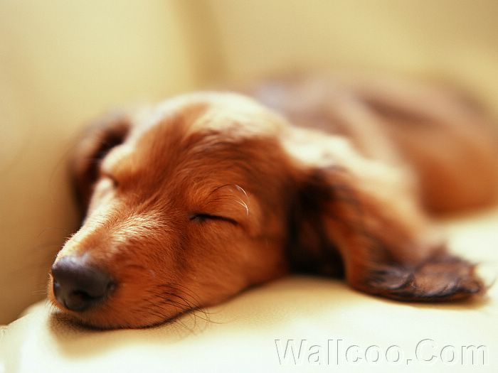 ... ,,Miniature Dachshund puppy pictures, Miniature Dachshund photos
