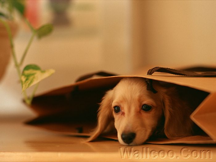 Cuddly Puppies - HD Dachshund Puppy Wallpapers (Vol.2) - 1920*1200