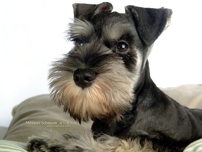 Cuddly Miniature Schnauzer Puppy photos 、Miniature Schnauzerr Puppy ...