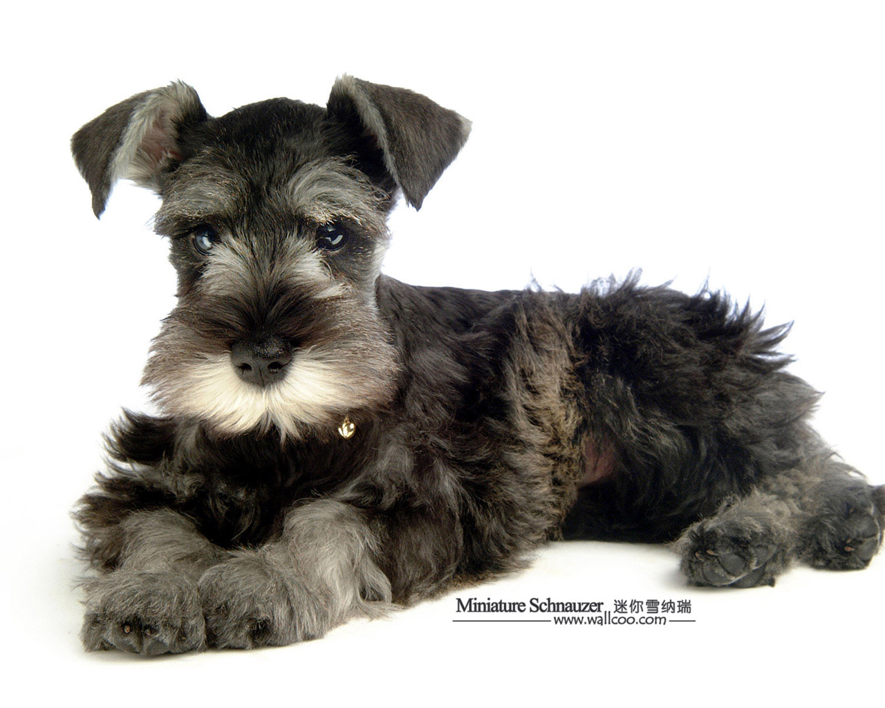 ... Pet Dogs - Miniature Schnauzer Puppy Photos 1280*1024 NO.34 Wallpaper