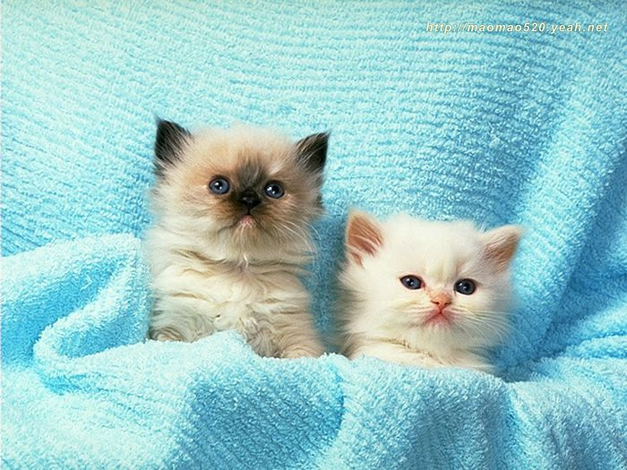180pics Kitten Kitten Playful Kittens Photo Album Super Cute Little Kittens Wallpaper